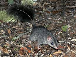 Brush_Tailed_Phascogale.png