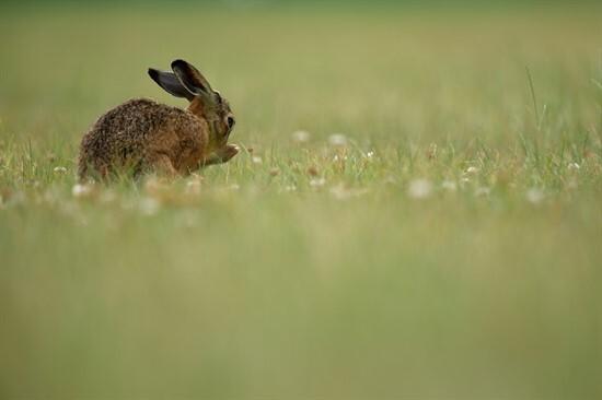 Easter_Hare.jpg