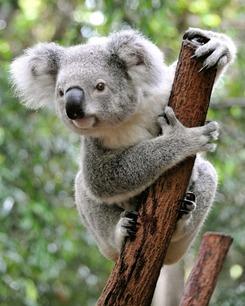 Koala_1_.jpg